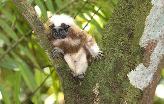 Wild Cotton-top tamarin (Saguinus oedipus)  sits in the crook of a tree in the dry tropical forest of Colombia...IUCN List: Critically Endangered..Digital Capture..