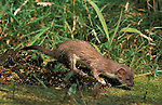 Stoat, Mustela erminea, by pond, wet, Blean Woods, UK, captive, fierce predator.United Kingdom....