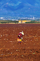 Cane field worker on the island of Maui