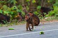 A Stump-tailed Macaque (Macaca arctoides) with a banana on the roadside. These macaques spend the early morning traveling and feeding, and spend more time on the ground than in trees. Phetchaburi, Thailand.