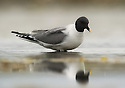 Sabine's Gull (Xema sabini) in Svalbard
