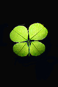 Stock photo of 4 leaf clover