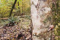 Land Snail (Gastropod) on Red Maple, Raven Rock State Park, Lillington, North Carolina, USA
