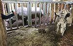 Foto: VidiPhoto<br /> <br /> ARNHEM - Een drukke ochtend voor dierentuinarts Henk Luten vrijdag in Burgers' Zoo in Arnhem. Als eerste moest de huid van twee neushoorns gecontroleerd en ingevet worden. Met name de stokoude breedlipneushoorn Freya (foto) had last van een droge huid, waardoor scheuren en dus infecties kunnen ontstaan. Neushoorn Gingabella kreeg een flinke schrobbeurt om losse huidschilfers te verwijderen. Freya is de laatste in het wild gevangen neushoorn van de Arnhemse dierentuin. Indertijd nodig om de soort te redden. De meeste neushoorns in dierentuinen worden geboren door eigen fok, of die van andere dierenparken.  Vervolgens moesten de hoeven van een ellips waterbok bekapt worden en werd met een echo gecontroleerd of het dier zwanger was omdat het park een nieuw, jong, mannetje in de kudde heeft. Van bevruchting bleek nog geen sprake. Tot slot werd een pasgeboren dikdik gechipt voor transport naar een Franse dierentuin. De dikdik behoort tot een van de kleinste antilopensoorten.