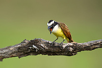 554810207 a wild great kiskadee pitangus sulphuratus perches on a dead mesquite tree limb on laguna seca ranch near edinburg texas united states