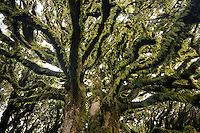 Beech trees with moss, goblin forest, Egmont National Park, North Island, New Zealand, NZ