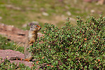 A columbian ground squirrel stands near some green foliage in Logan Pass, Glacier National Park, Montana.