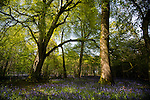 Sunlight filters through trees illuminating bluebells