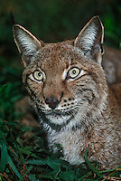 657144005 portrait of a canadian lynx felis lynx in green plants- animal is a wildlife rescue - species is endangered in its northern north america habitat