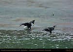 Bald Eagle Stalking Juvenile Feeding on Salmon, Squamish River, Brackendale Eagles Provincial Park, Vancouver, British Columbia