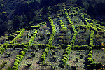 Quilt of trees provide windbreaks for coffee plants on the slopes of the Santa Ana Volcano on a coffee farm in El Salvador.