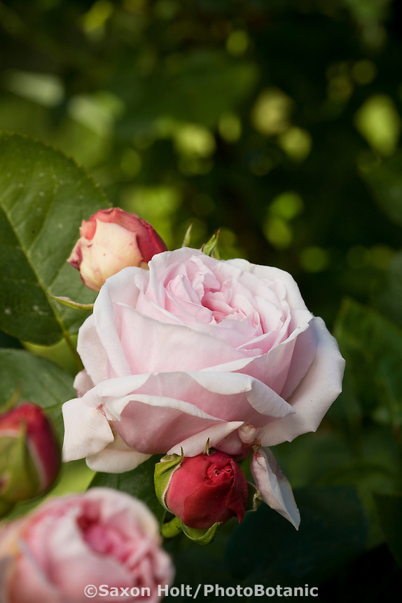 Rosa 'Brother Cadfael', English Rose pink flower and bud in California garden