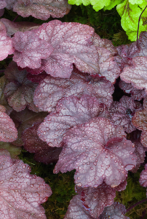 Heuchera &lsquo;Beaujolais&rsquo; leaves with dew drops water rain