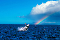 Humpback whale breaches off Maui with a rainbow and Lanai in the background.