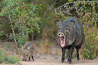 650520214 a wild baby javelina dicolytes tajacu interacts with its yawning mother on beto gutierrez ranch hidalgo county texas united states