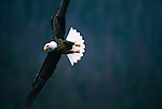 Portrait of bald eagle in flight in Montana.