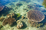 Table corals in clear shallow waters, Suranggan, Triton Bay, Papua