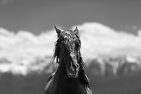I love the way that the billowing clouds and snow covered slopes of the White mountains emphasize the wild nature of this magnificent beast. He is the herd stallion of a small band of wild horses we found roaming the hills above the Adobe Valley during my most recent photo workshop. These horses are usually difficult to approach but this group let us get amazingly close.