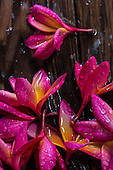 Rain-saturated plumeria flowers on a deck on O'ahu.