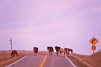 Free ranging horses near St. Mary on Highway 89