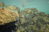 Group of Rock Bass<br />
