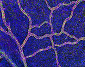 Cortex superficial vasculature and DNA. Confocal Microscopy