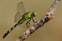 The Eastern Pondhawk (Erythemis simplicicollis), also known as the Common Pondhawk, is a dragonfly of the family Libellulidae, native to the eastern two-thirds of the United States and southern Ontario, Canada.