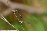 320220001 a wild pair of mating double-striped bluets enallagma basidens  perch on a dead stick in southeast metropolitan park in austin texas