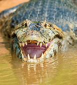 Yacare Caiman (Caiman yacare), Pantanal, Mato Grosso, Brazil.