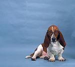 Bassett Hound<br /> <br /> Shopping cart has 3 Tabs:<br /> <br /> 1) Rights-Managed downloads for Commercial Use<br /> <br /> 2) Print sizes from wallet to 20x30<br /> <br /> 3) Merchandise items like T-shirts and refrigerator magnets