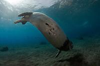 Mission: Monk Seal <br /> Desertas Islands &ndash; Deserta Grande - Madeira, Portugal. August 2009.<br /> Monk Seal (Monachus monachus), male identified by parque Natural da Madeira as &quot;metade&quot;.