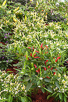 Chile pepper variety