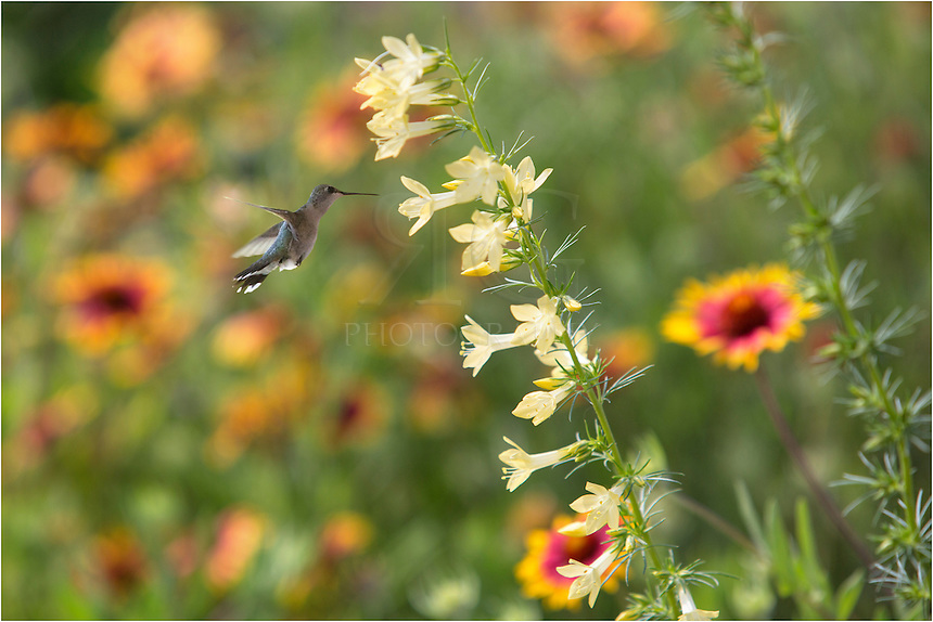 I liked the play of light on these Texas Wildflowers - yellow Standing Cypress against the reds and golds of firewheels. I also knew the hummingbirds that frequent these flowers are buzzing in the morning light. So I set up a tripod and waited patiently. Within 30 minutes, I had several images of these hummingbirds, with this Texas wildflower image of the Standing Cypress and hummingbird being one of my favorites.