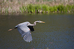 A Great Blue Heron  takes flight within a small restored habitat near Lake Nokomis