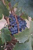 Royalty Free stock photos of grapes on the vine