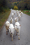 A flock of roaming sheep posed an interesting roadblock for travelers on Little Buckhorn Road on Oct. 13th. The sheep were eventually shooed off the road, allowing drivers to pass. .Photo by Sam Verbulecz