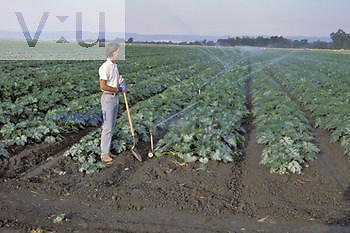 Farmer inspecting his Squash crop, California, USA.