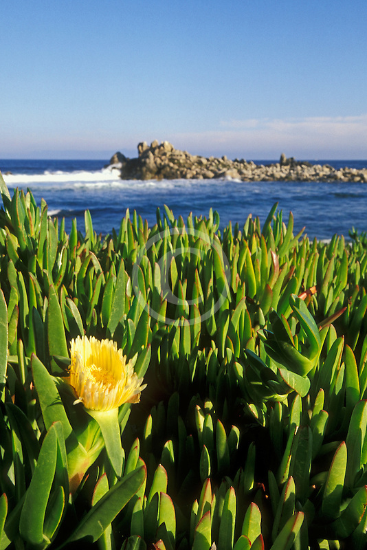 California, Pacific Grove, Ice plant in bloom on coast