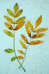Two sprigs of yellow autumn leaves of Rowan or Mountain ash or Sorbus aucuparia lying on antique paper  with some leaflets missing