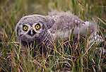 Juvenile snowy owl, Arctic National Wildlife Refuge, Alaska