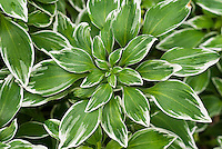 Alstroemeria psittacina 'Royal Star' foliage  (= 'Variegata')