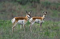673080113 wild pronghorn antilocarpa americana graze and interact on a grassy hillside near canadian texas united states