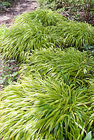 Hakonechloa macra 'Aureola' ornamental grass