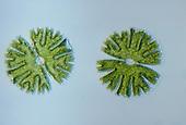 Micrasterias Green Algae. LM