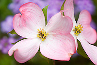 Pink dogwood flower Cornus florida in spring bloom