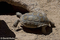 0609-0609-1014  Desert Tortoise Retreating into Burrow to Escape Heat (Mojave Desert), Gopherus agassizii  © David Kuhn/Dwight Kuhn Photography