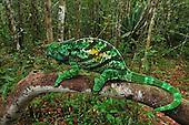 Male Parson's Chameleon (Calumma parsonii), Andasibe-Mantadia National Park, Madagascar.