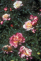 Rose Grenada