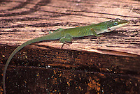 Green anole, Daytona Beach, FL . (Photo by Brian Cleary / www.bcpix.com)