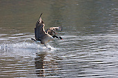 Canada Goose (Branta canadensis) A dominant male aggressively chases off other geese on the Ribble river away from the female beginning of spring. Originally introduced to Britain in St James Park, London in the mid 17th century,